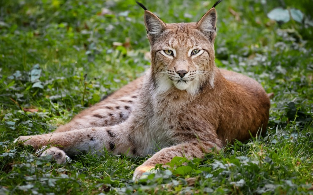 lynx animal widescreen wallpapers