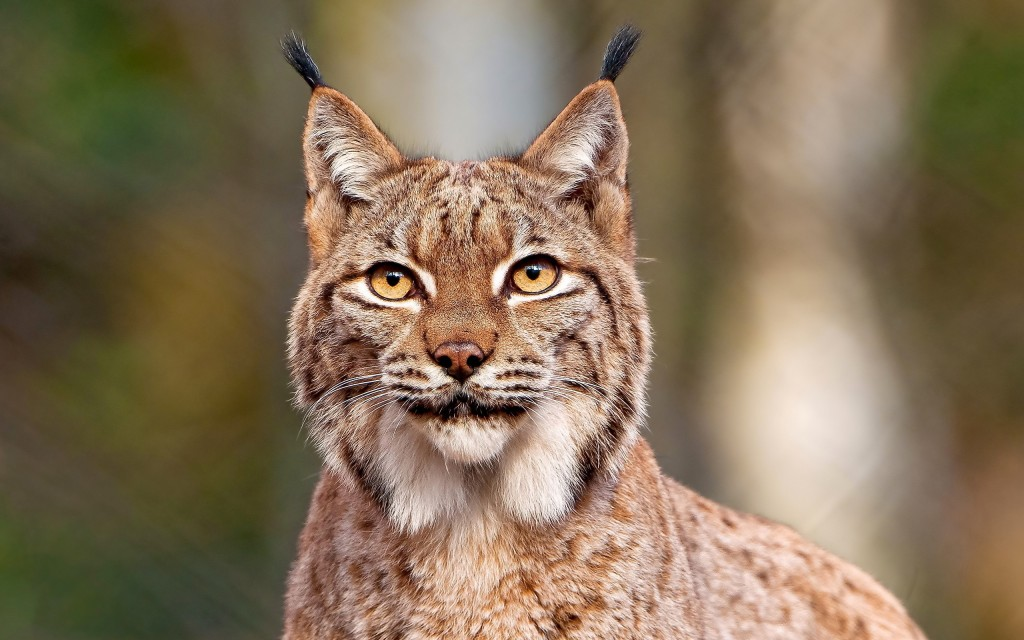lynx background hd wallpapers