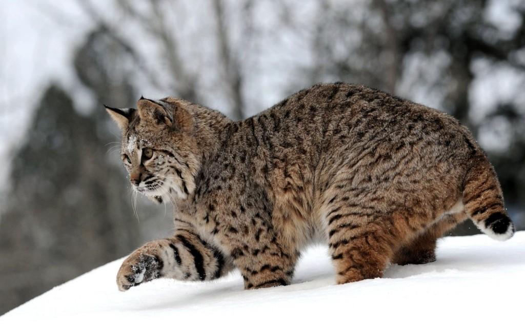 lynx-wallpapers-38482-39372-hd-wallpapers