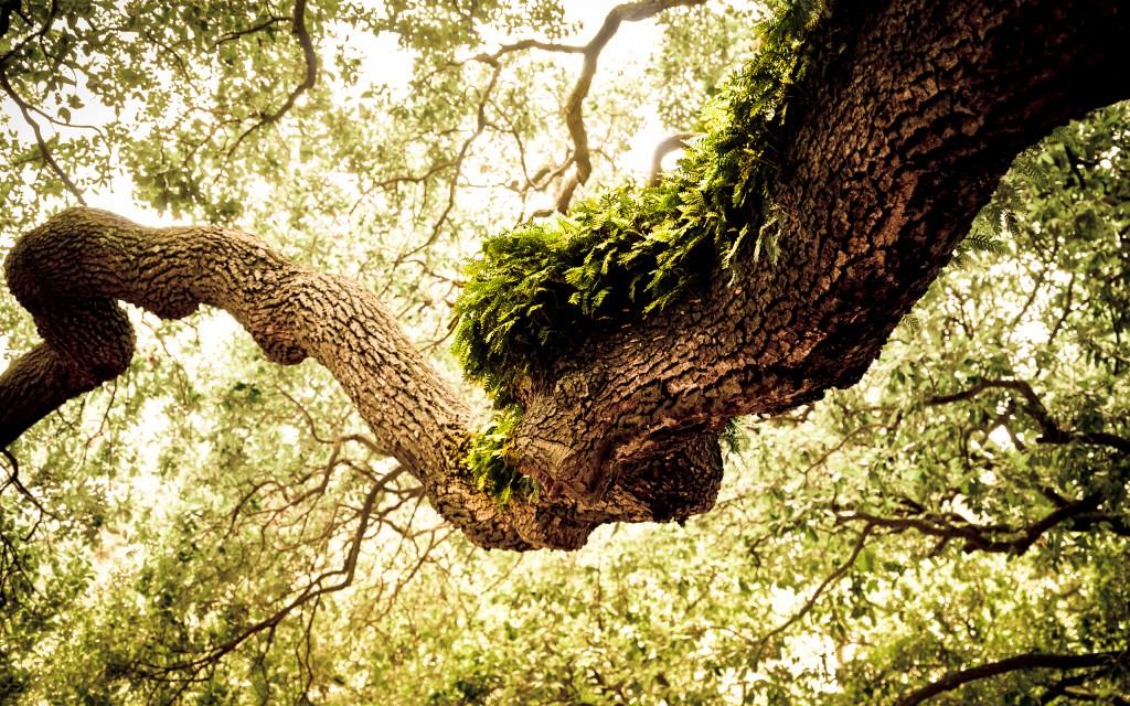 oak-tree-32958-33713-hd-wallpapers