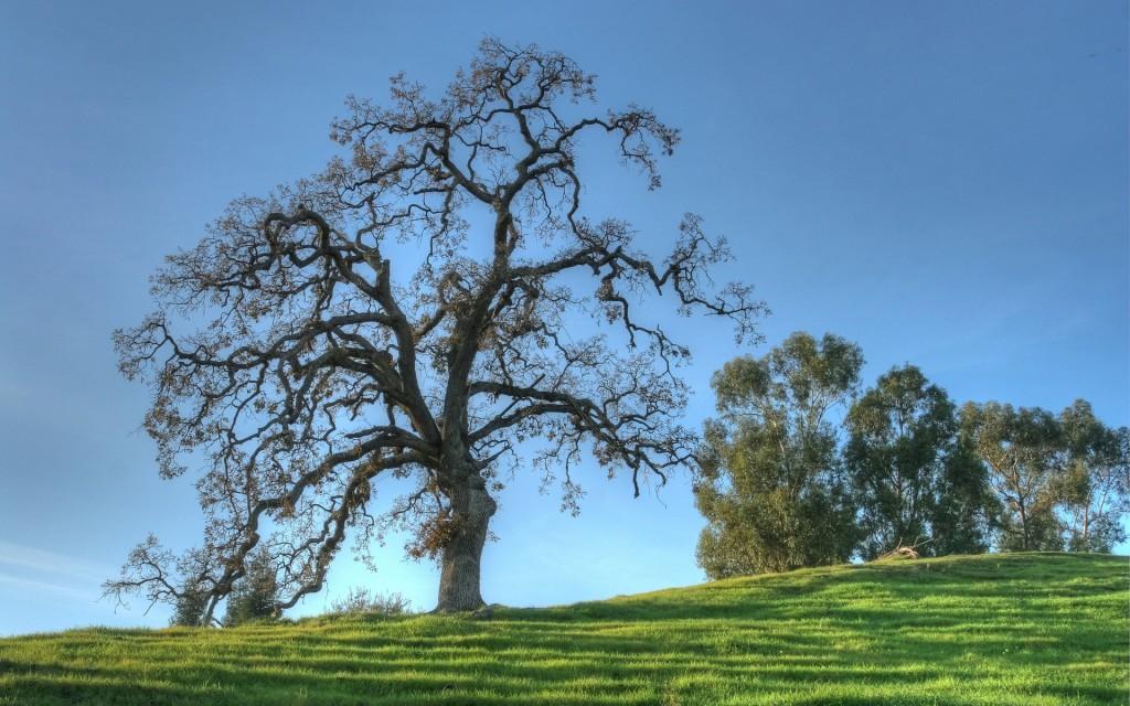 oak-tree-desktop-wallpaper-49756-51435-hd-wallpapers