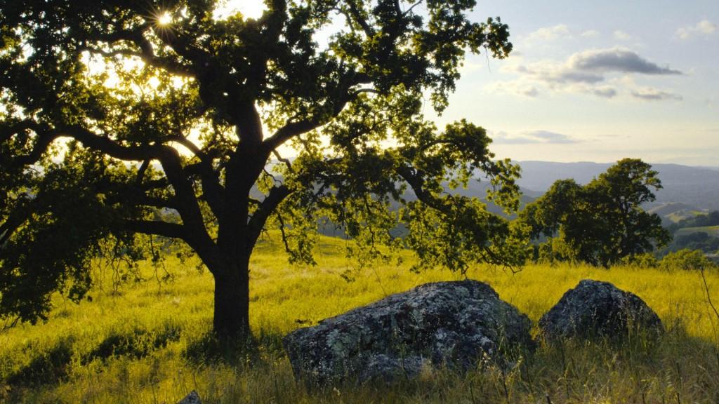 oak-tree-hd-32969-33724-hd-wallpapers