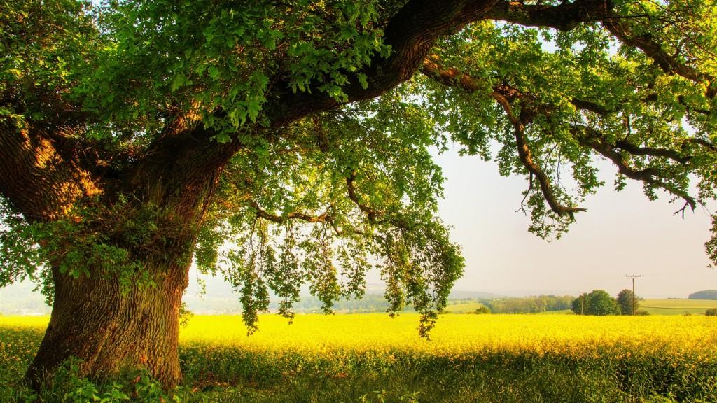 oak tree wallpapers