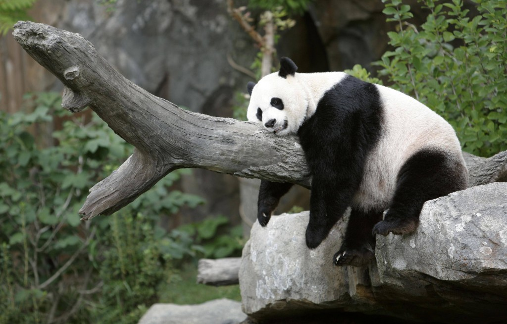 panda resting wide wallpapers