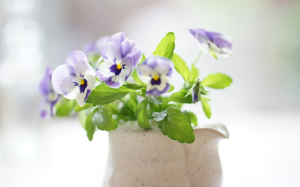 pansies-31060-31792-hd-wallpapers