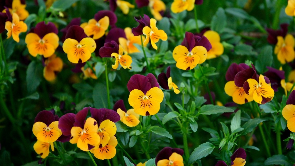 pansies-background-31062-31794-hd-wallpapers