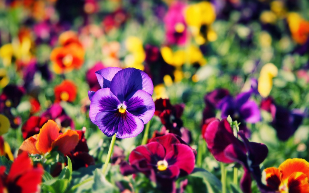 pansies-wallpaper-31056-31788-hd-wallpapers