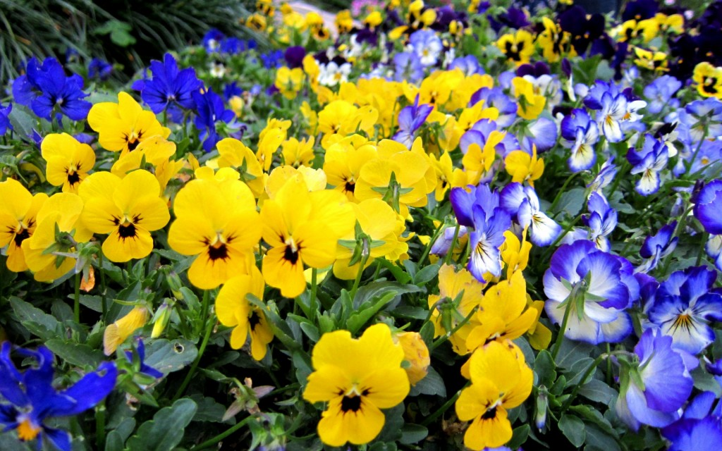 pansies-wallpaper-31063-31795-hd-wallpapers
