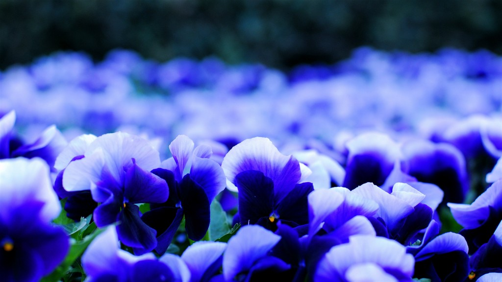 pansy-flowers-widescreen-wallpaper-50007-51693-hd-wallpapers