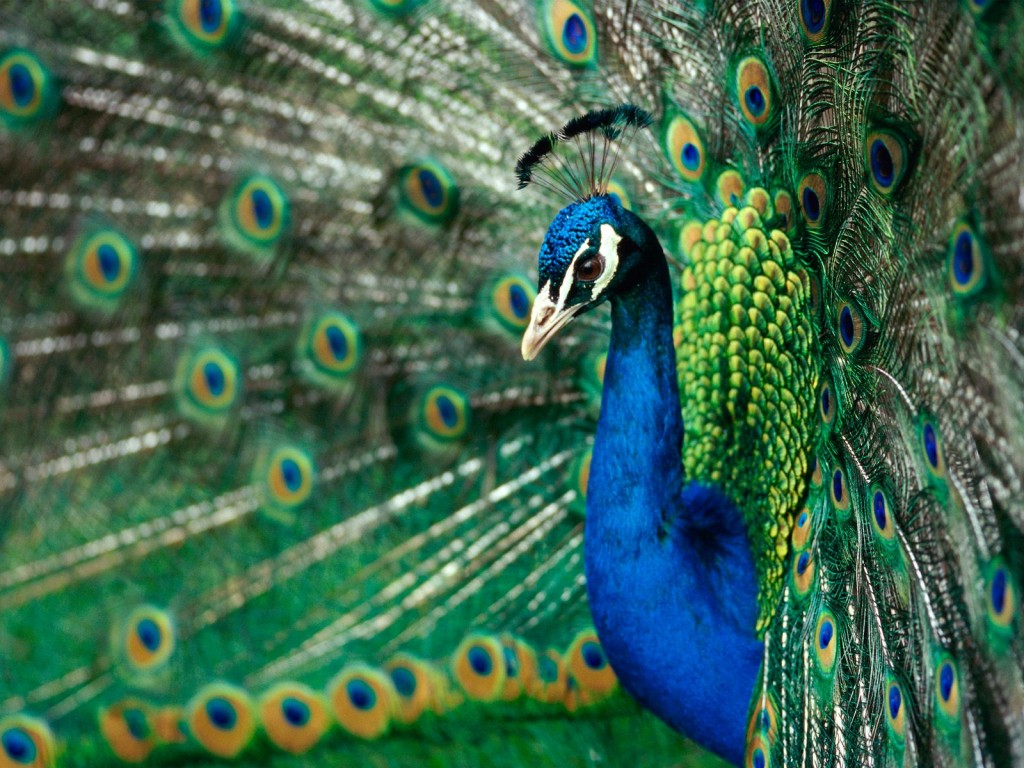 peacock-27299-28016-hd-wallpapers