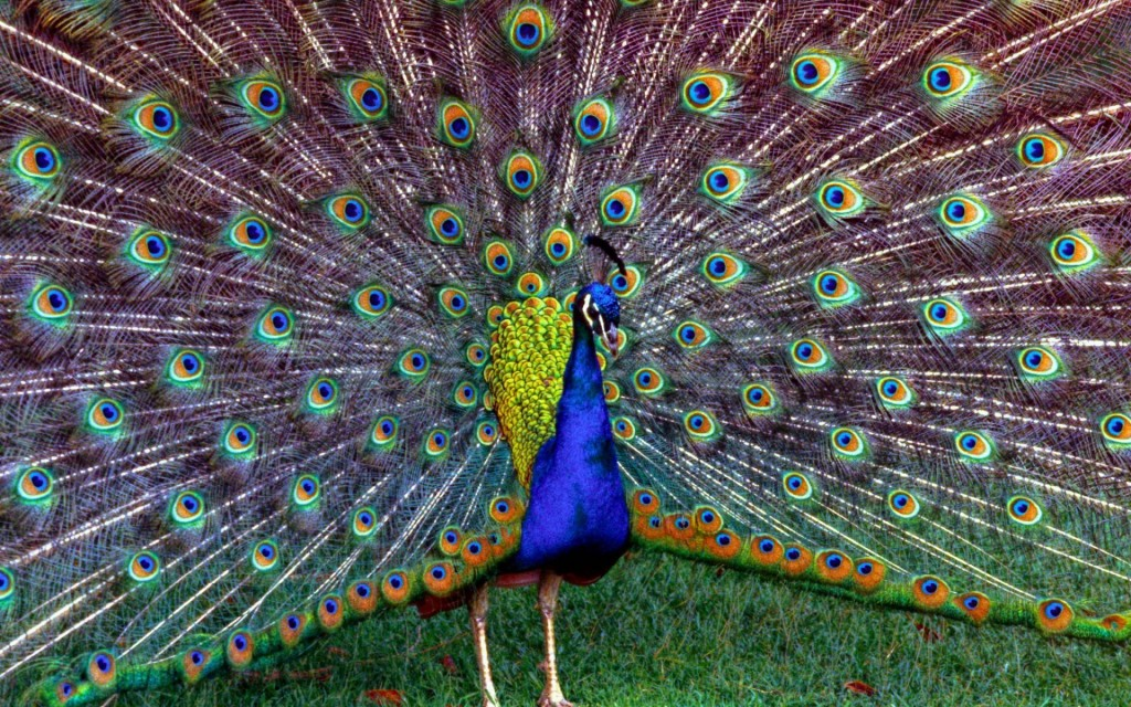 peacock-27305-28022-hd-wallpapers