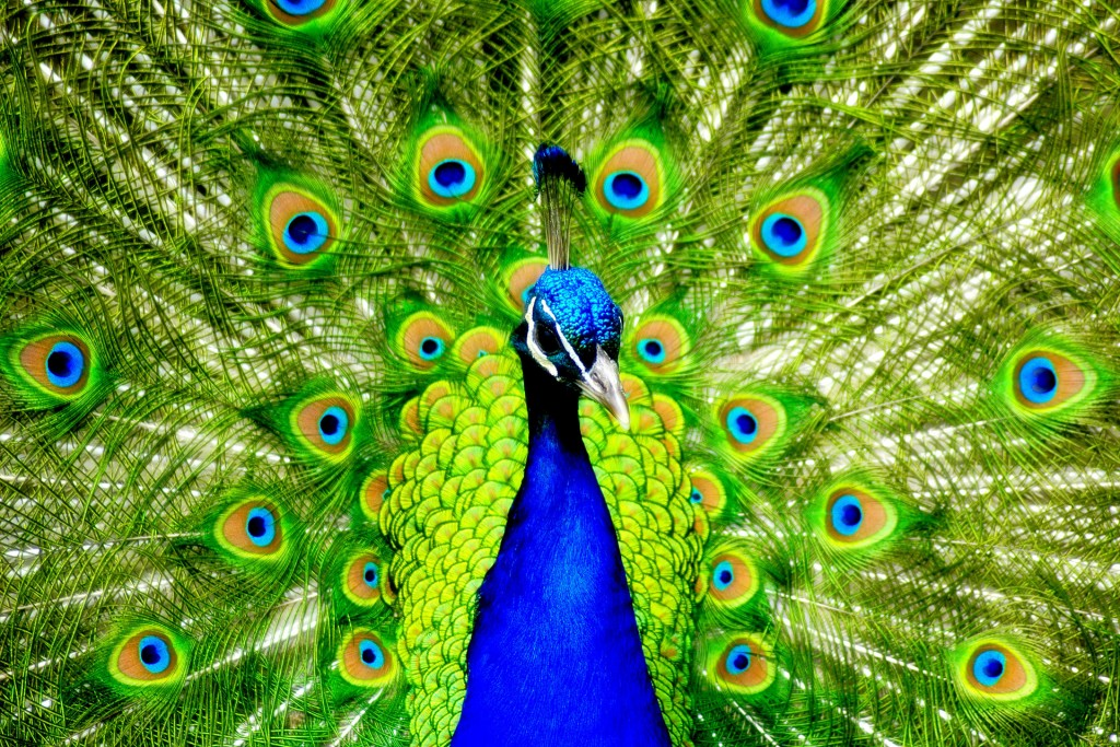 peacock-bird-desktop-wallpaper-50073-51760-hd-wallpapers