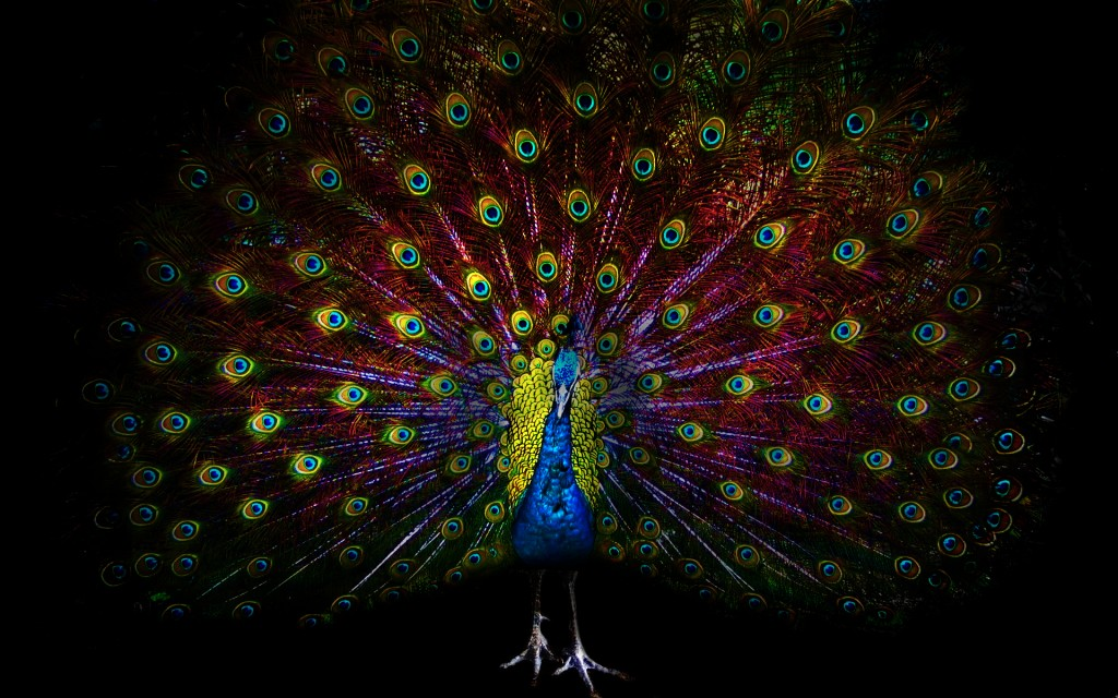 peacock-bird-wallpaper-50072-51759-hd-wallpapers