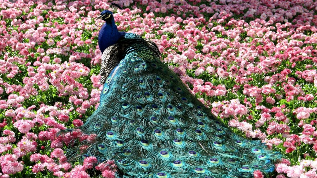 peacock bird wallpapers