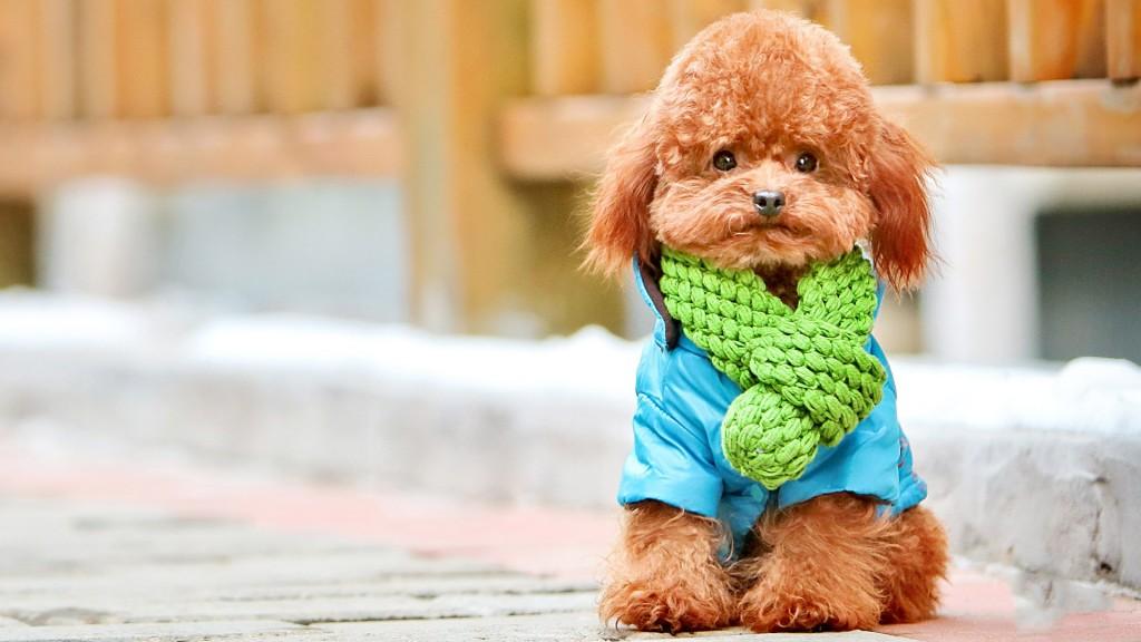poodle-dog-desktop-wallpaper-49988-51673-hd-wallpapers