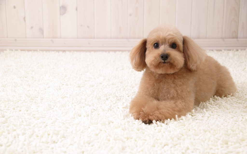 poodle-dog-wallpaper-49990-51675-hd-wallpapers