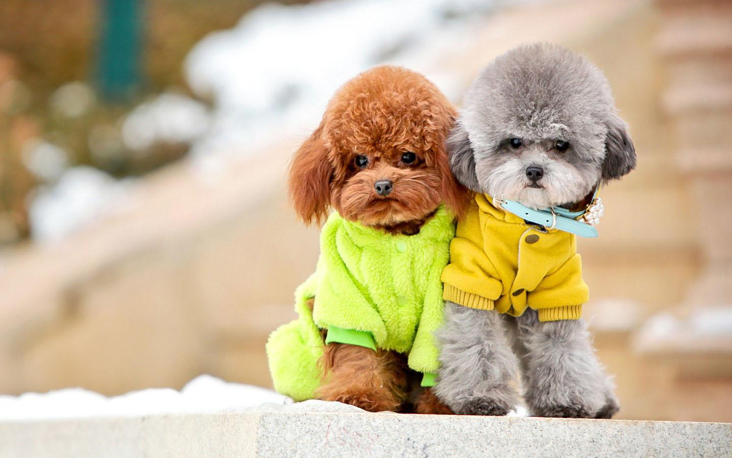 14 HD Poodle Dog Wallpapers Image Source From This