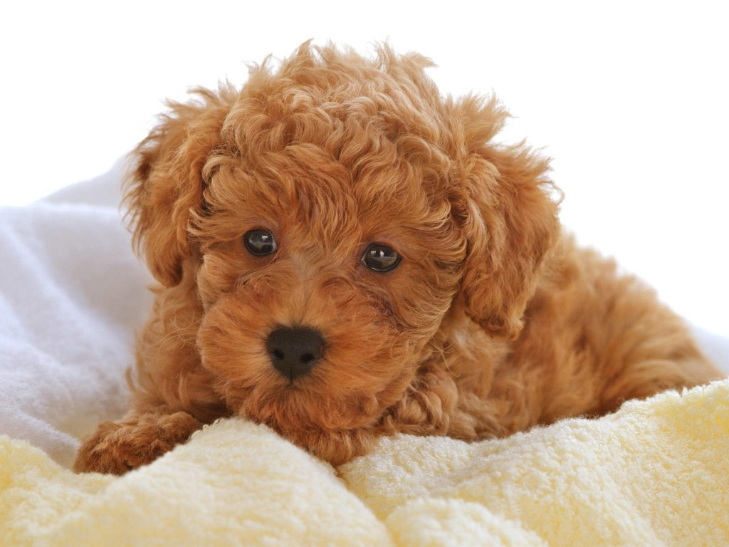 poodle-wallpaper-23868-24524-hd-wallpapers