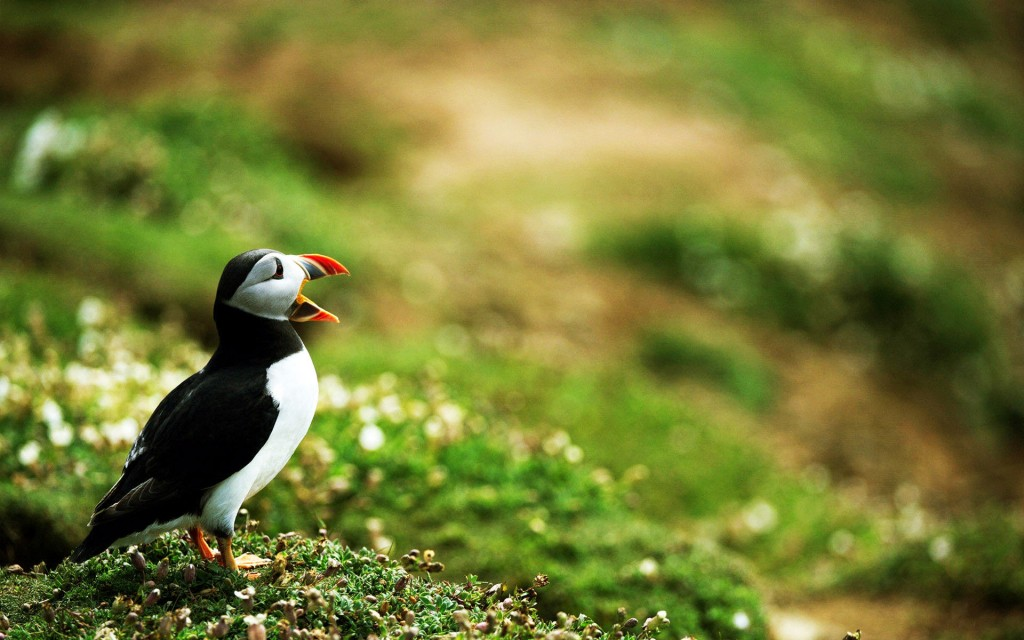 puffin-bird-desktop-wallpaper-50110-51797-hd-wallpapers