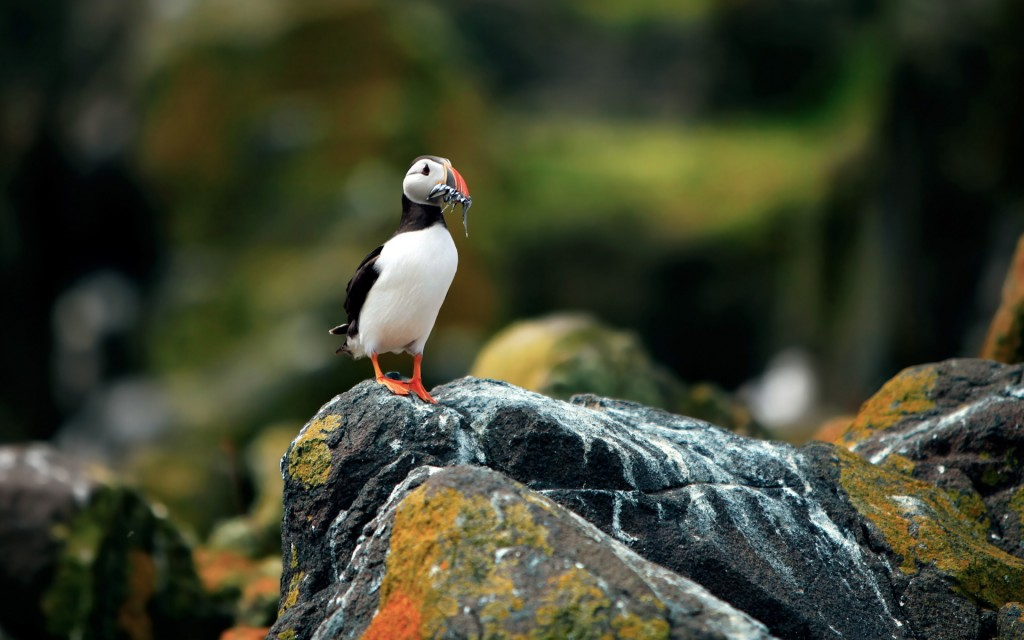 puffin-bird-wallpaper-pictures-50119-51806-hd-wallpapers