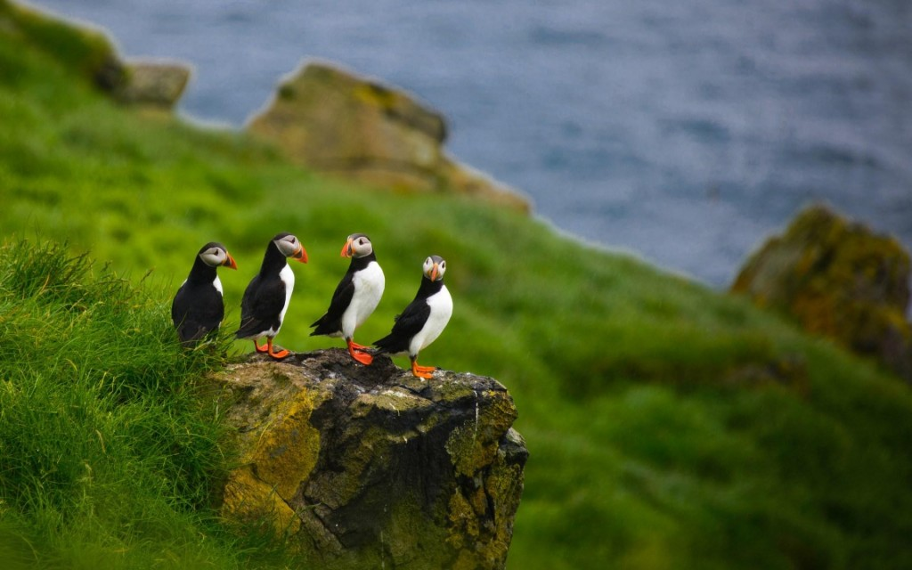 puffin-birds-wallpaper-50115-51802-hd-wallpapers