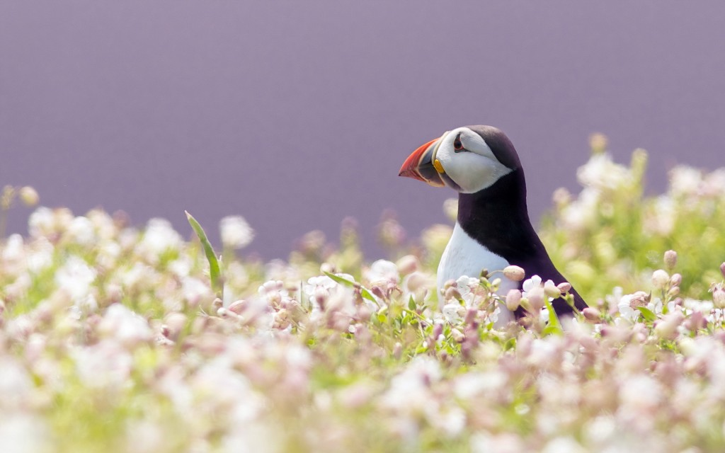 puffin-wallpapers-24806-25478-hd-wallpapers
