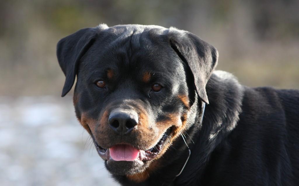rottweiler-dog-wide-wallpaper-49485-51159-hd-wallpapers