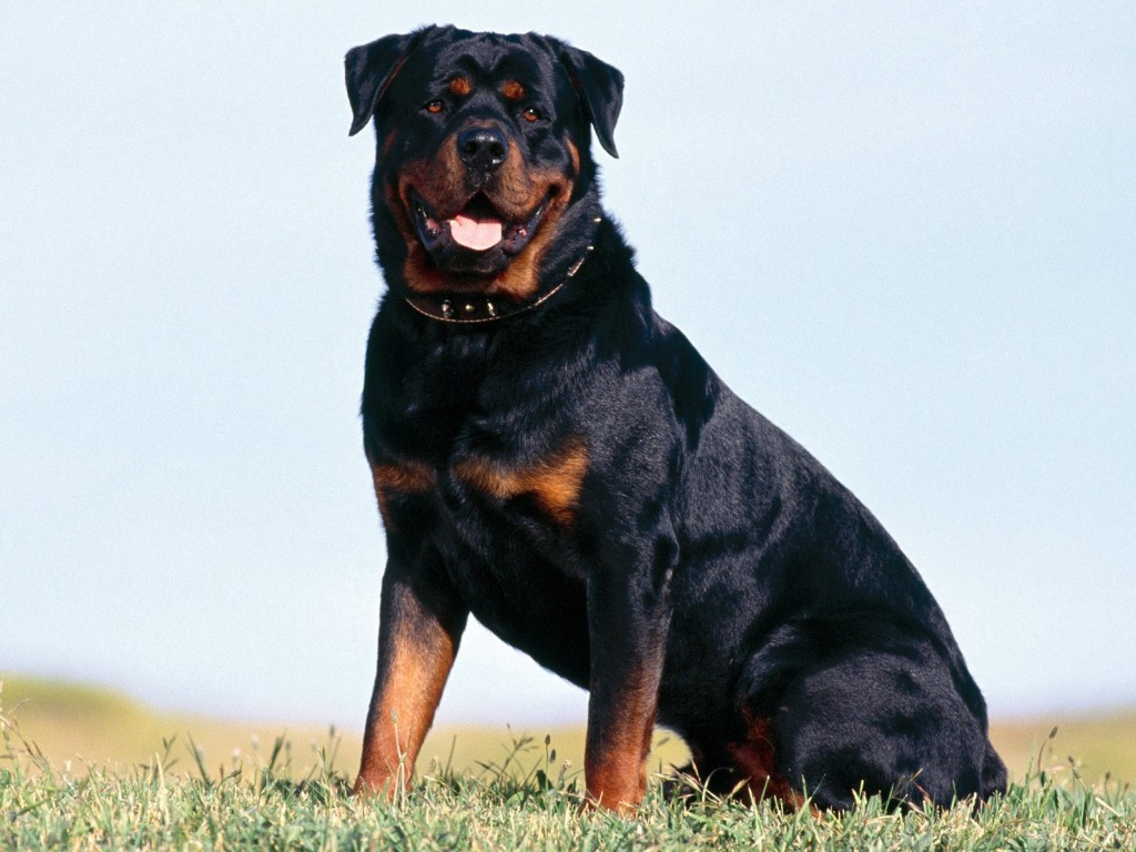 rottweiler-pictures-38276-39151-hd-wallpapers