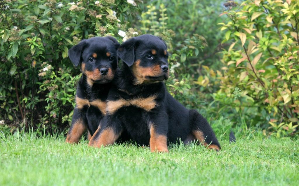 Rottweiler chiots calme duo assis dans un parc