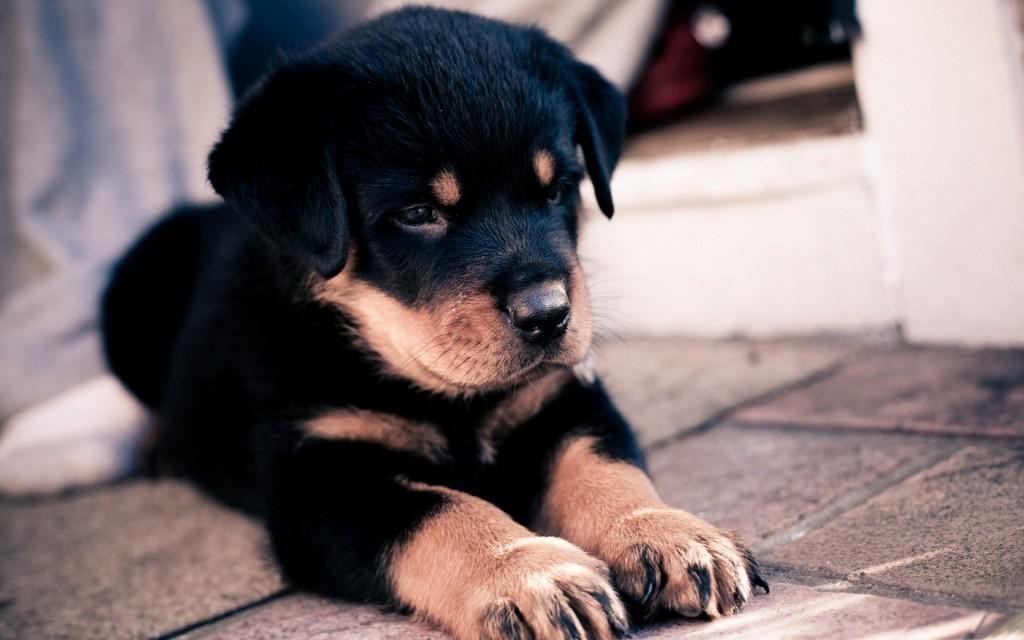 rottweiler-puppy-desktop-wallpaper-49486-51160-hd-wallpapers