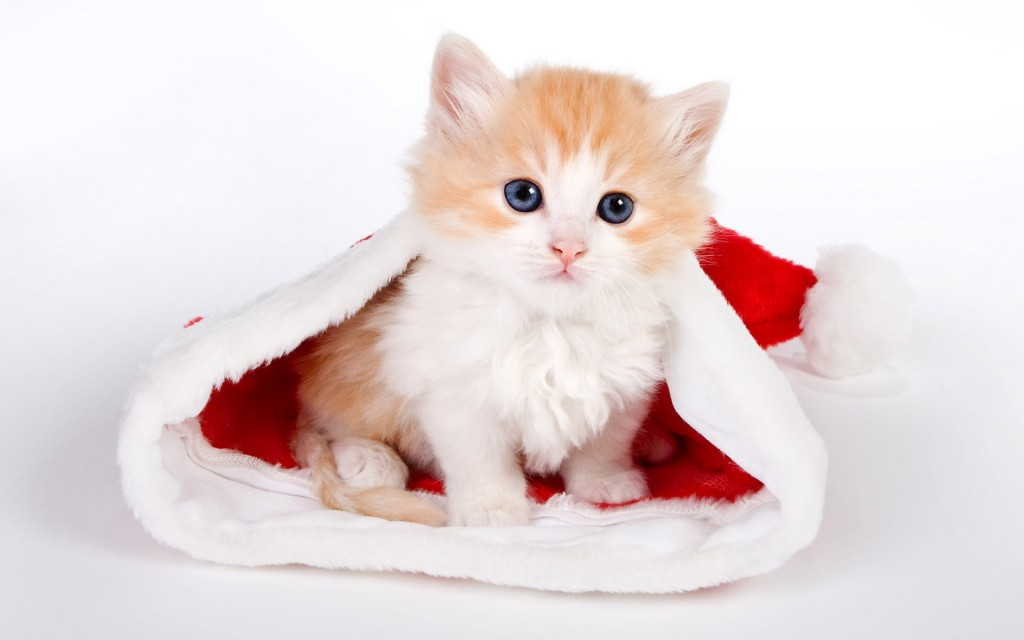 santa-hat-cat-desktop-wallpaper-49846-51527-hd-wallpapers