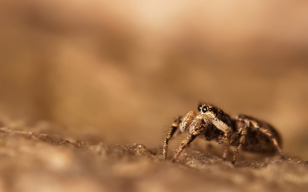 spider-wallpaper-23753-24408-hd-wallpapers