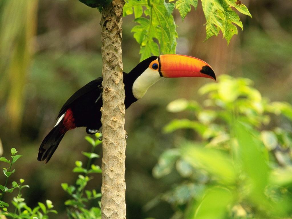 toucan-bird-computer-wallpaper-49701-51380-hd-wallpapers