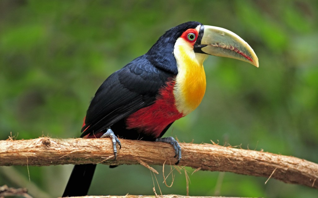 toucan-bird-wallpaper-49699-51378-hd-wallpapers