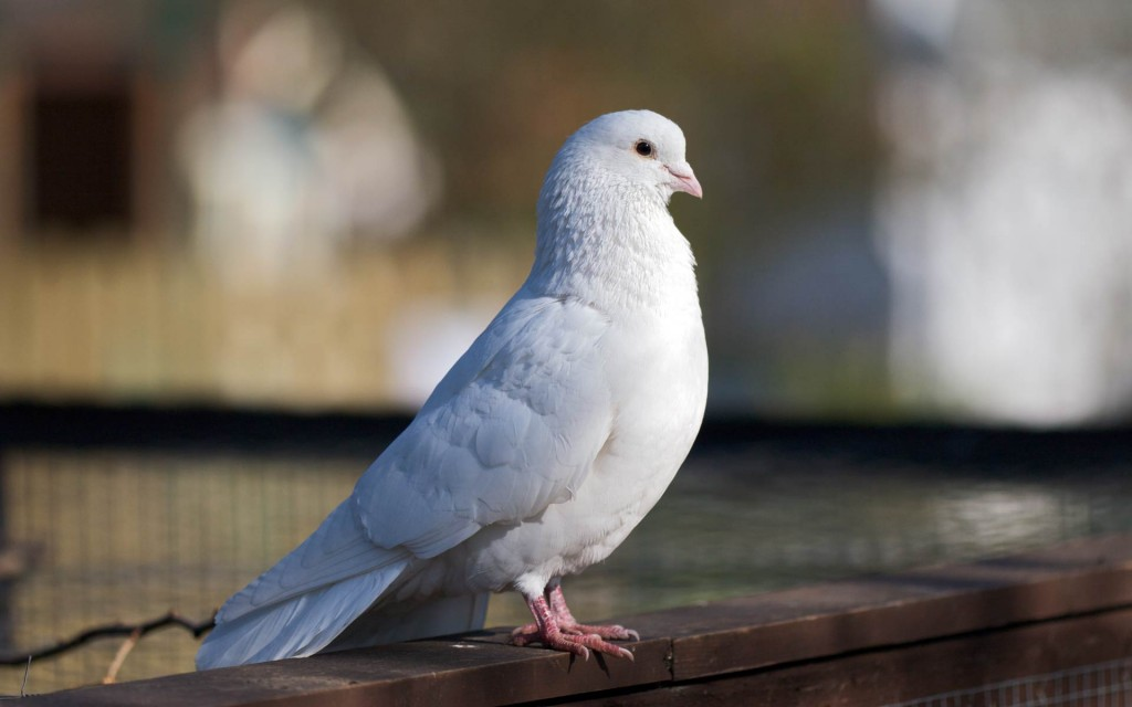 white-dove-bird-desktop-wallpaper-49626-51302-hd-wallpapers