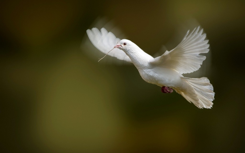 white-dove-bird-flying-wallpaper-49630-51306-hd-wallpapers