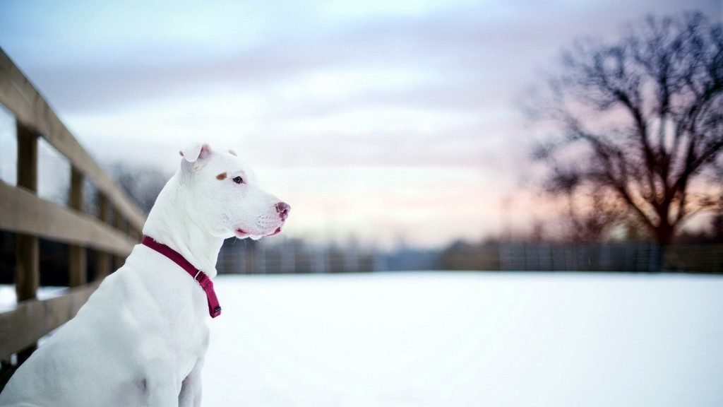 white-pitbull-desktop-wallpaper-49477-51151-hd-wallpapers