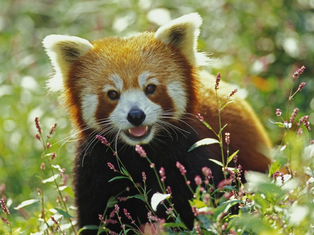 adorable-red-panda-wallpaper-27522-28239-hd-wallpapers