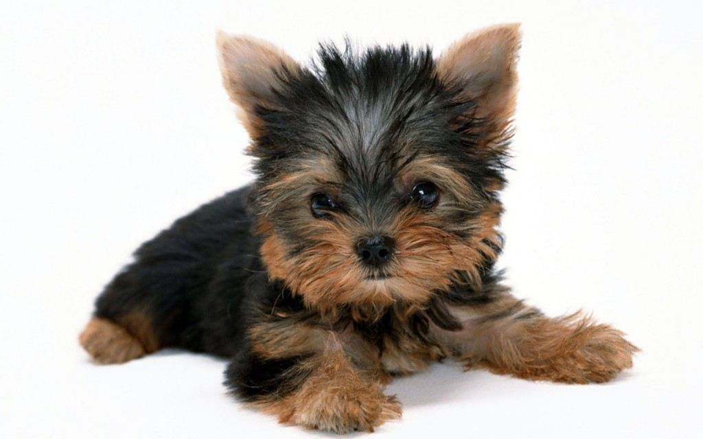 adorable-yorkie-wallpaper-24226-24889-hd-wallpapers