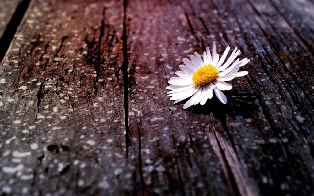 beautiful-chamomile-wallpaper-20225-20734-hd-wallpapers