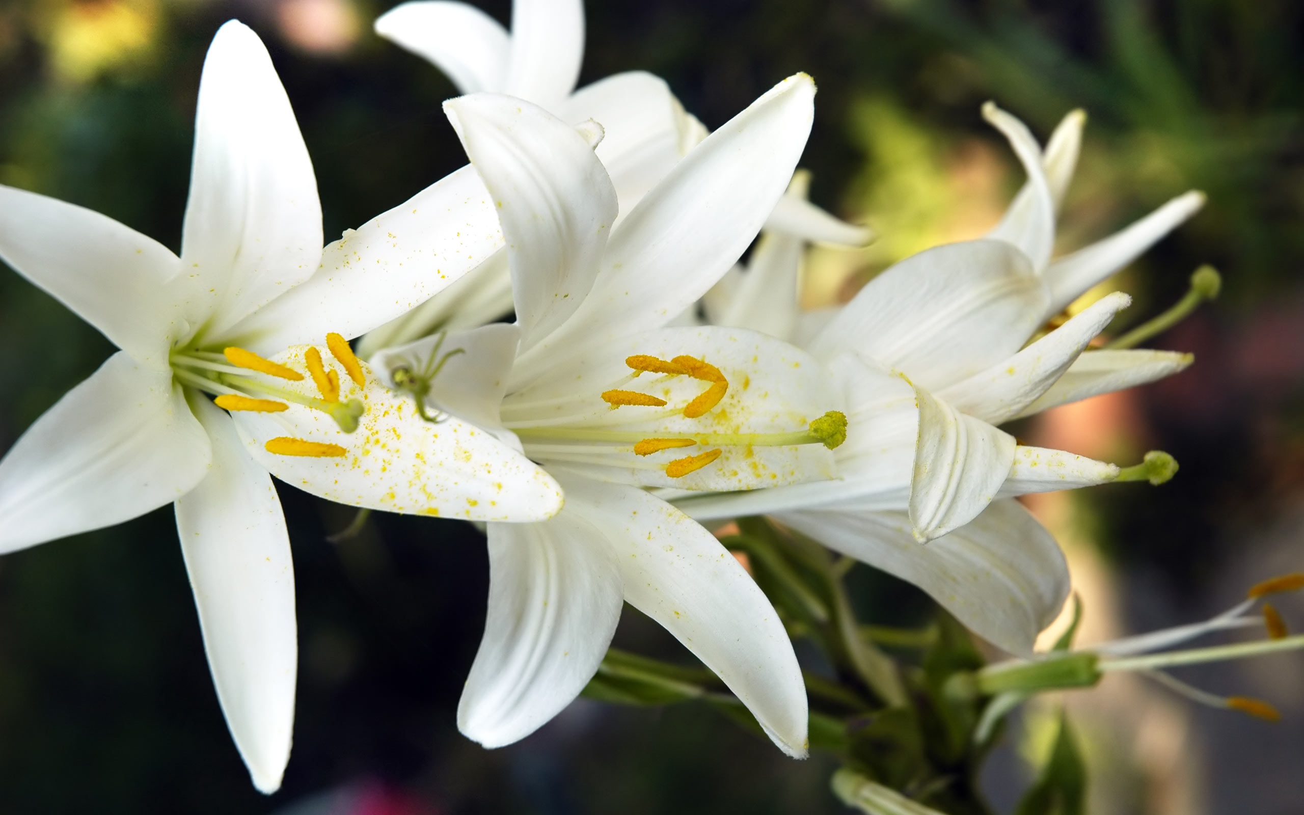27 Beautiful HD Lily Flowers Wallpapers
