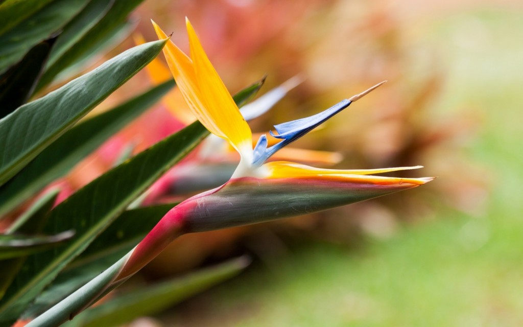 bird of paradise flowers wallpapers
