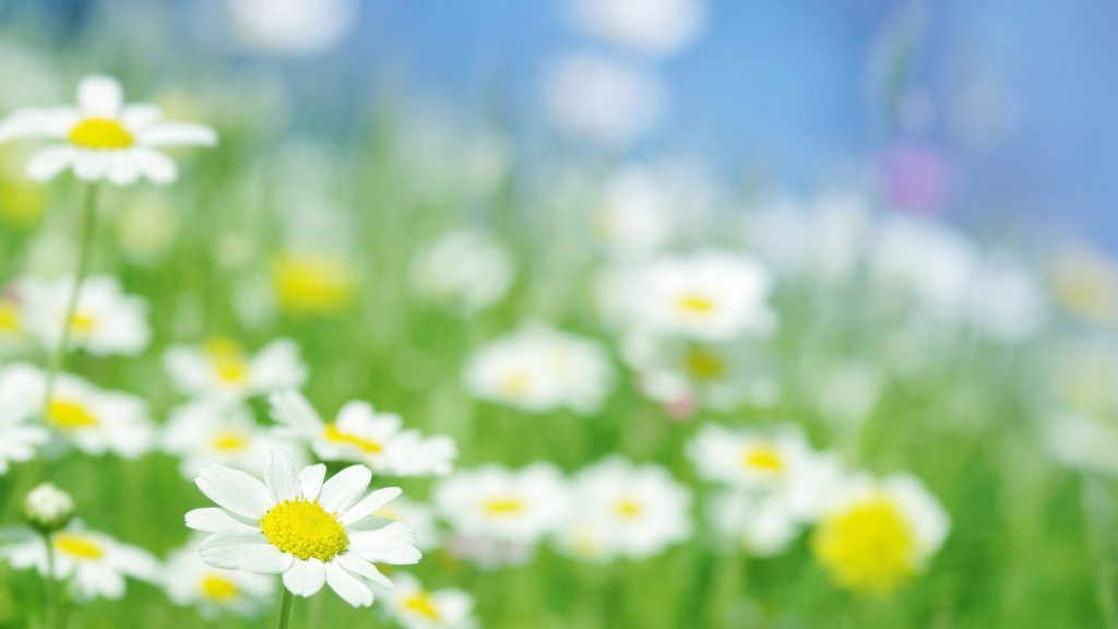 chamomile-20228-20737-hd-wallpapers