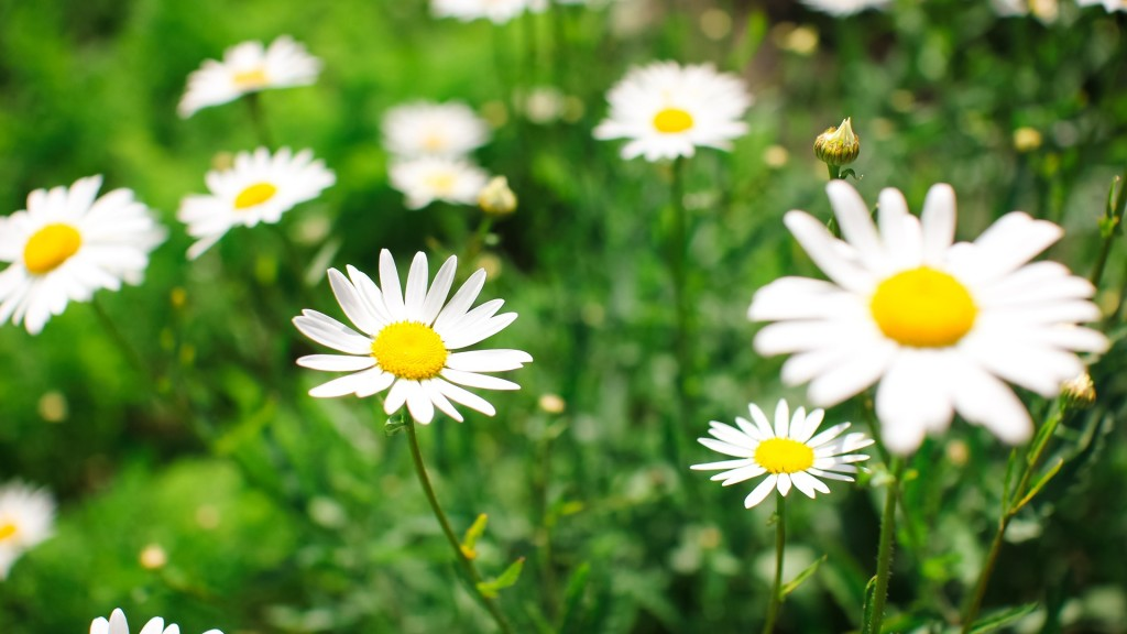 chamomile-20241-20750-hd-wallpapers