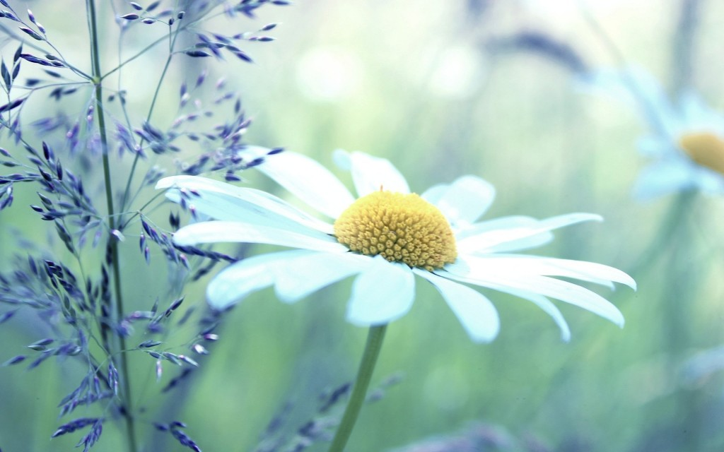chamomile flower wallpapers