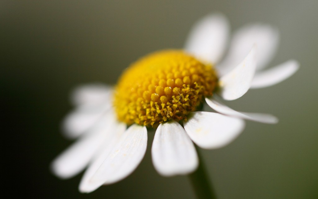 chamomile flower wide wallpapers