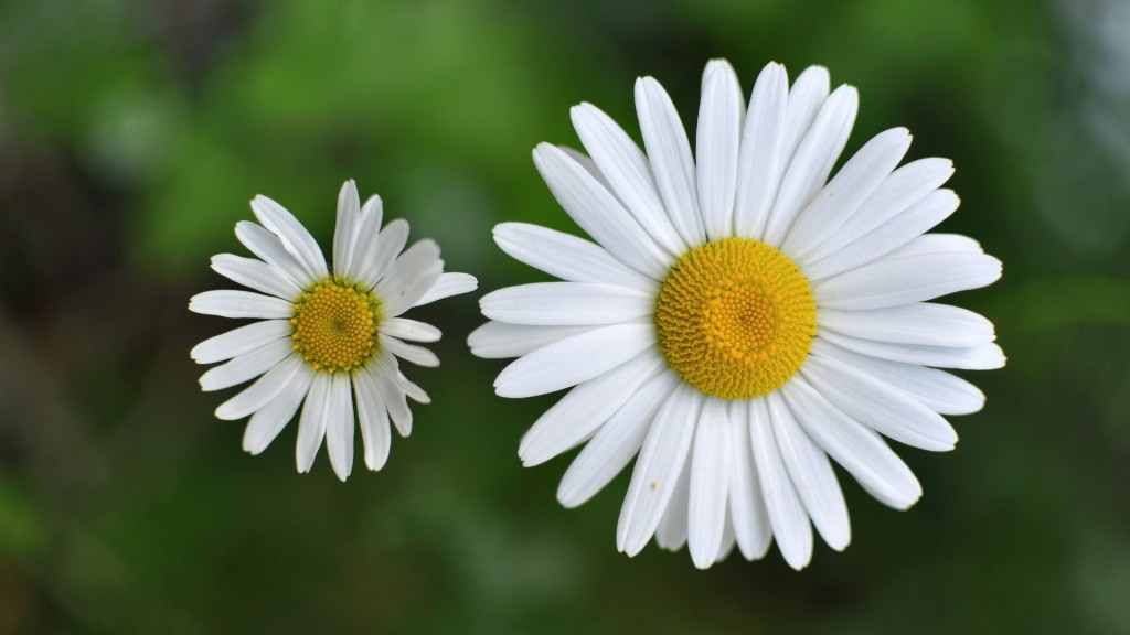 chamomile-flowers-20236-20745-hd-wallpapers