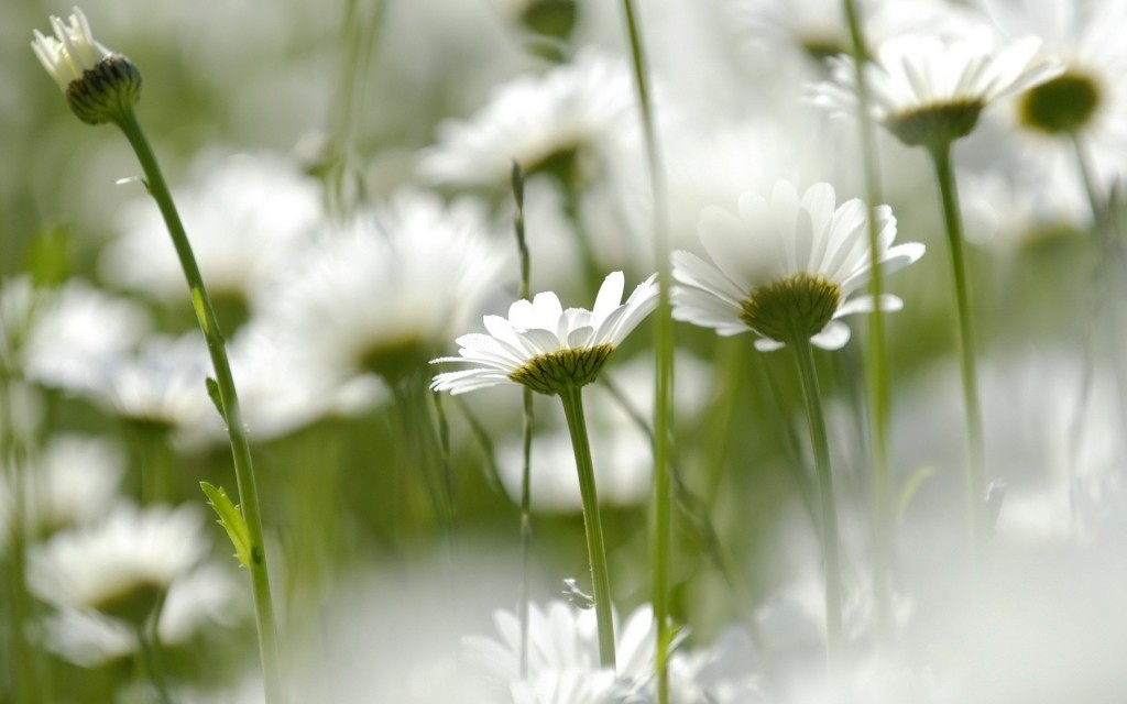 chamomile flowers desktop wallpapers