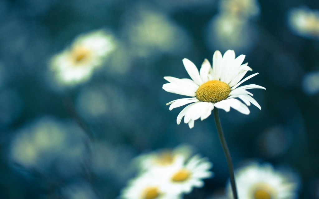 chamomile flowers macro wallpapers