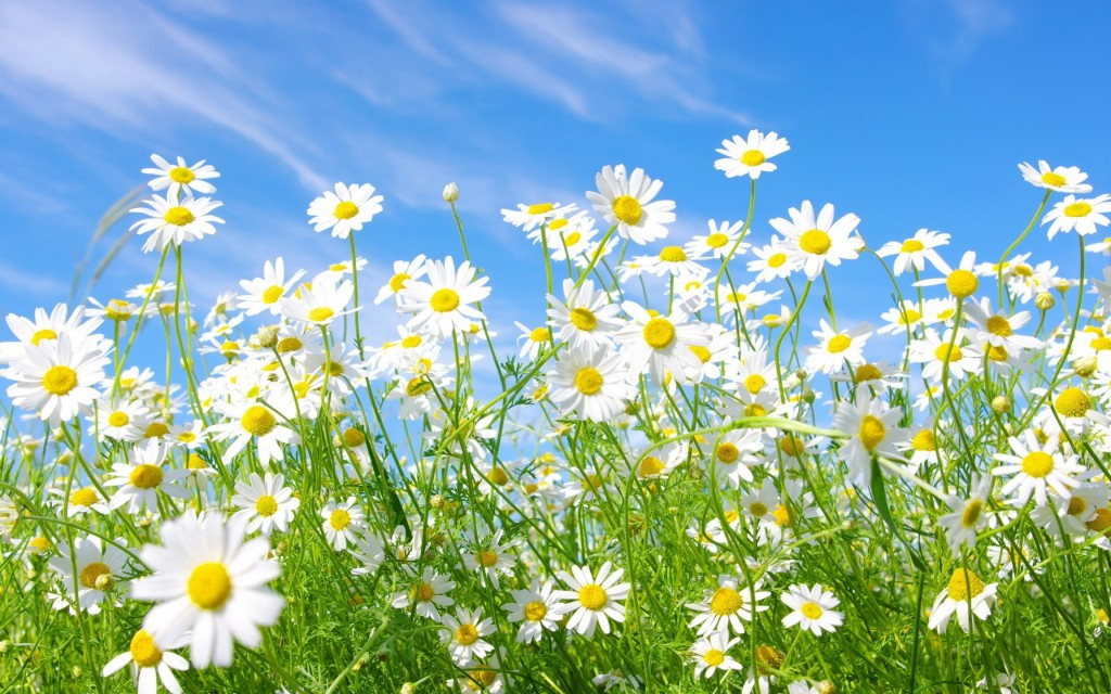 chamomile flowers widescreen wallpapers